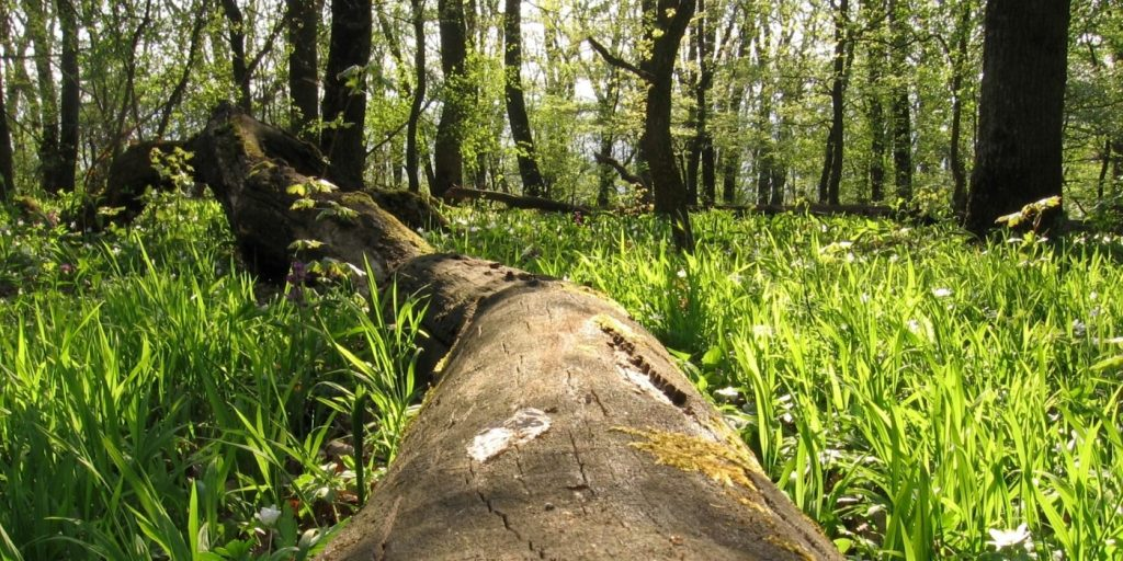 Ždánický les - padlý strom