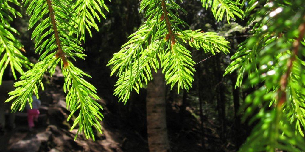 Ždánický les - smrčky